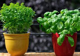 Φυτέψτε φυτά για την κουζίνα